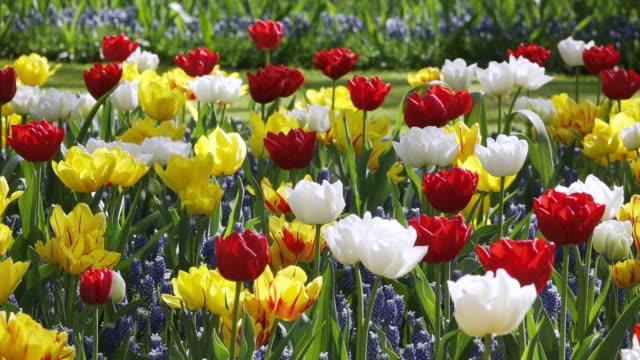 vídeos y material grabado en eventos de stock de ms shot of tulip fields at keukenhof gardens / lisse, south holland, netherlands - variación