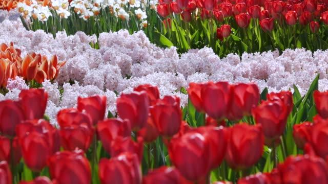 ms shot of tulip fields at keukenhof gardens / lisse, south holland, netherlands - オランダ点の映像素材/bロール