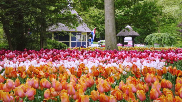 ws shot of tulip fields at keukenhof gardens / lisse, south holland, netherlands - south holland stock videos and b-roll footage