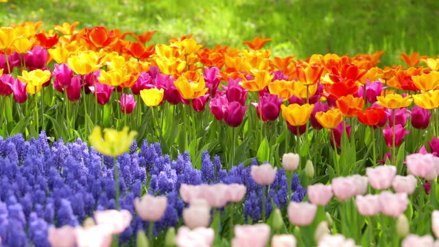 ms shot of tulip garden / tachikawa, tokyo, japan - tulip stock videos and b-roll footage