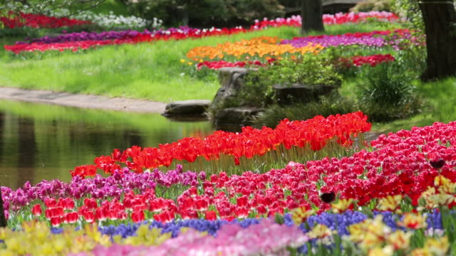 ms shot of tulip garden / tachikawa, tokyo, japan - formal garden stock videos & royalty-free footage