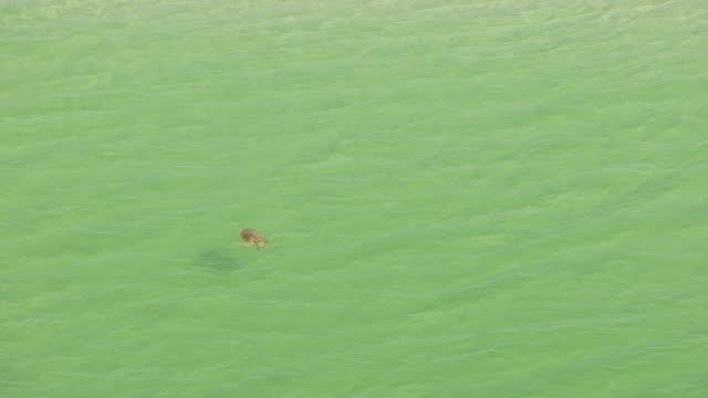 cu aerial zo shot of turtle swimming in panhandle water / florida, united states - 水棲ガメ点の映像素材/bロール
