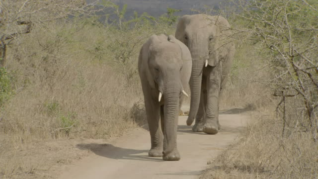 WS SLO MO  Shot of two African Elephants walking down path / Thula Thula, South Africa
