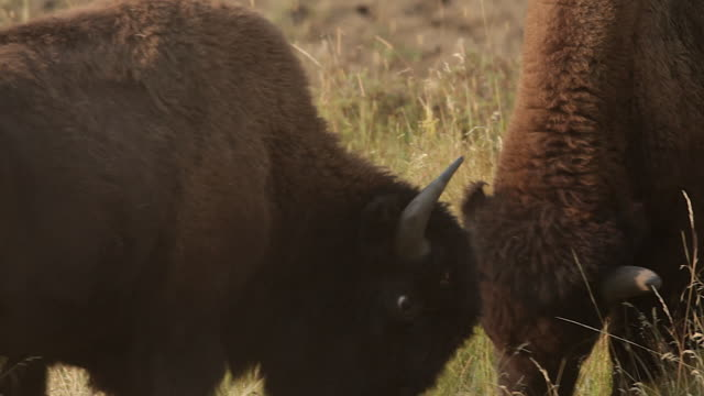 TS  shot of two American bison (Bison bison) bulls fighting during the August rut