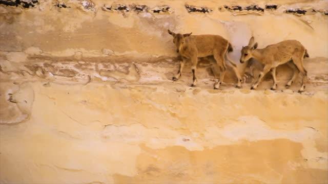 ms shot of two baby nubian ibex (capra nubiana) playing on cliff / avdat, negev desert, israel - ヤギ点の映像素材/bロール