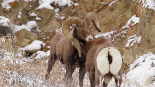ms shot of two bighorn sheep rams butting heads in snow / georgetown, colorado, united states - 対立点の映像素材/bロール