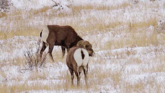 ms shot of two bighorn sheep rams butting heads in snow / georgetown, colorado, united states - bighorn sheep stock videos & royalty-free footage