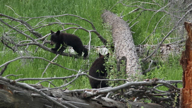 ms  shot of two black bear cubs (ursus americanus) playing  in a tree - two animals stock videos & royalty-free footage