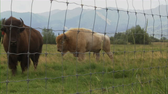 shot of two buffalos passing by a wire mesh fence. - wire mesh fence stock videos & royalty-free footage