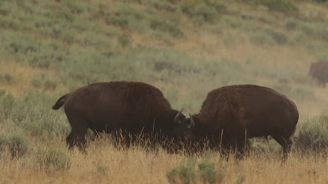 MS  shot of two bull american bison (bison bison) fighting during the rut