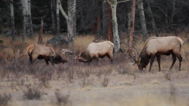 CU PAN Shot of two bull elk fighting amongst herd of massive bull elk / Estes Park, Colorado, United States