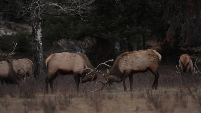 MS Shot of two bull elk fighting during the evening in meadow / Estes Park, Colorado, United States