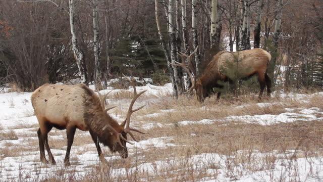 stockvideo's en b-roll-footage met ms shot of two bull elk grazing in snowy meadow / estes park, colorado, united states - estes park