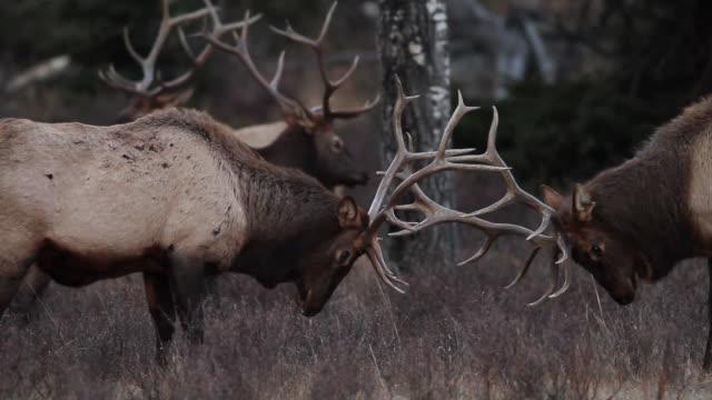 stockvideo's en b-roll-footage met cu shot of two bull elk sparring at dark / estes park, colorado, united states - estes park
