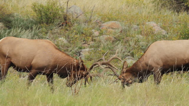 ms shot of two bull elk sparring in grassy meadow / tetons, wyoming, united states - grand teton bildbanksvideor och videomaterial från bakom kulisserna