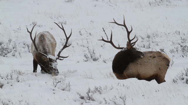 stockvideo's en b-roll-footage met ms shot of two bull elk with huge antlers digging for grass through fresh snow / estes park, colorado, united states - estes park