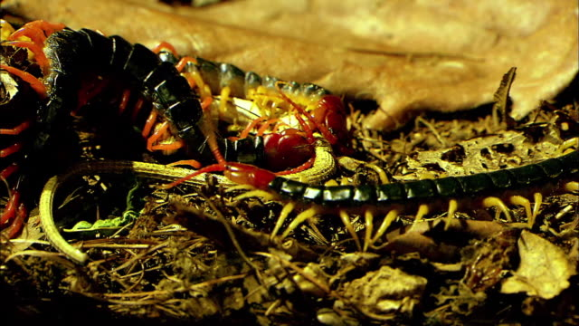 shot of two centipedes eating lizard - hundertfüßer stock-videos und b-roll-filmmaterial