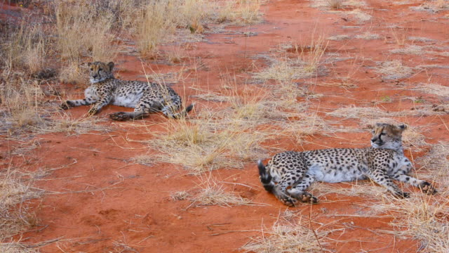ms shot of two cheetah in wild at bush camp on safari at africat foundation to rescue wild animals / okonjima private reserve, namibia, south africa - safari animals stock videos & royalty-free footage