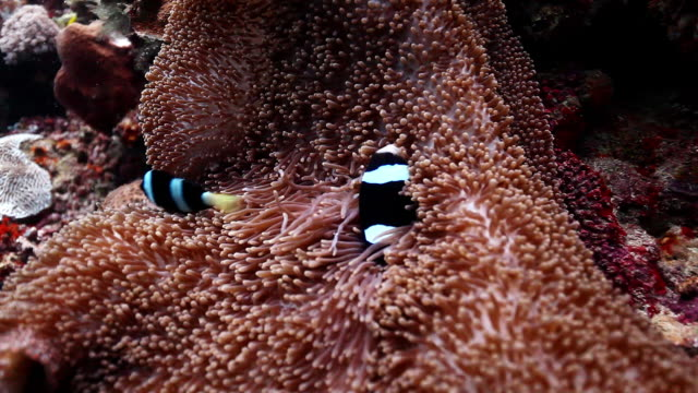 cu shot of two clark anemone fish rubbing on anemone / sipadan, semporna, tawau, malaysia - sea anemone stock videos and b-roll footage