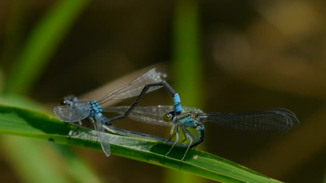 shot of two coenagrion lanceolatums mating on blade of grass - blade of grass stock videos & royalty-free footage