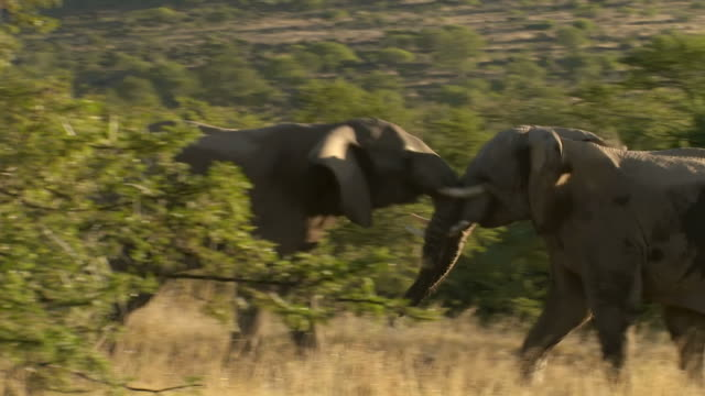 MS ZO TS Shot of Two elephants fighting, Addo Elephant Park / Eastern Cape, South Africa