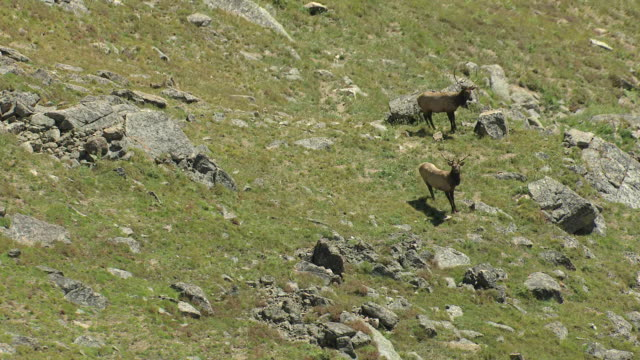 MS TU ZO AERIAL Shot of two elk with large antlers in rocky mountainside in rocky mountain national park / Colorado, United States