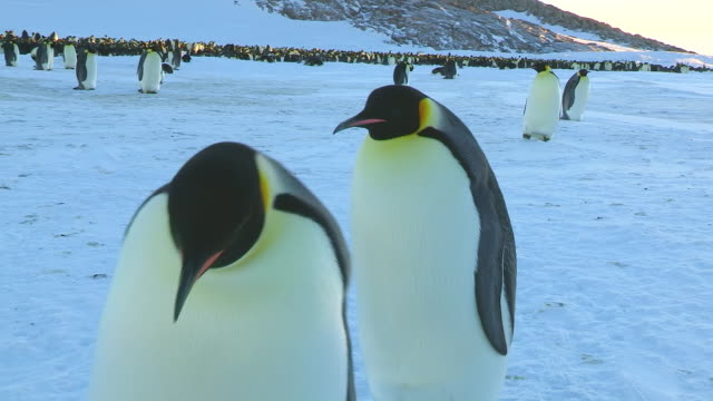 cu pov shot of two emperor penguins walking and waddle dancing with colony in back side  / dumont d'urville station, adelie land, antarctica - waddling stock videos and b-roll footage