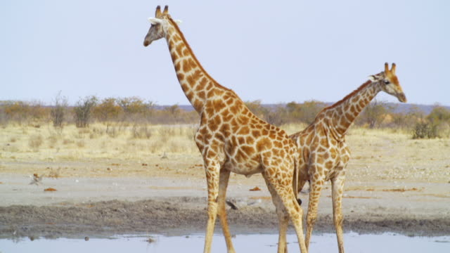 MS TS Shot of Two giraffes drinking water from waterhole / Etosha National Park, Namibia
