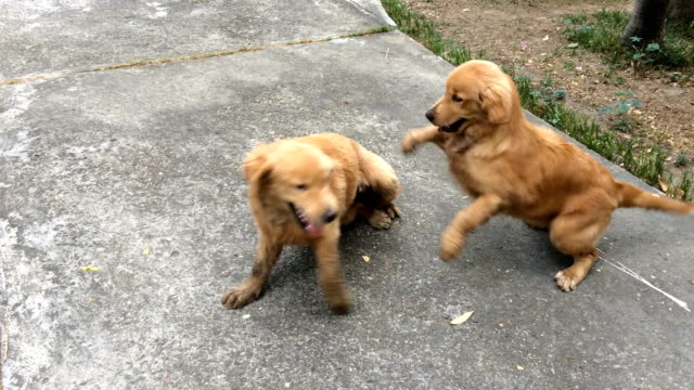 ms shot of two golden retriever pups playing in home area - golden retriever stock videos and b-roll footage