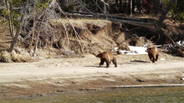 ms ts shot of two grizzly bears running along snake river / tetons, wyoming, united states - river snake stock videos & royalty-free footage