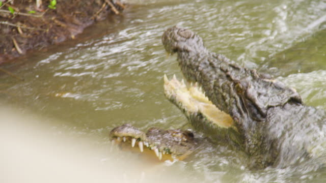 a shot of two head of crocodile - crocodile stock videos & royalty-free footage