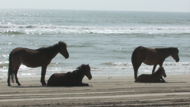 vidéos et rushes de ws shot of two horses standing and two horse lying down on beach as ocean waves crashing / rodanthe, north carolina, united states - wiese