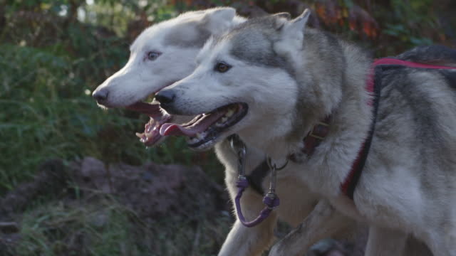 cu ts slo mo shot of two huskies dogs running through forest / lydney, gloucestershire, united kingdom - そり犬点の映像素材/bロール