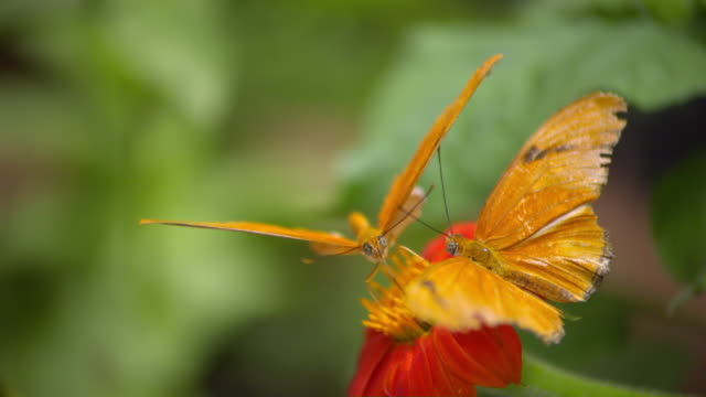 CU SLO MO Shot of Two Julia Heliconian orange butterfly on atop orange flower with flying away / Santa Barbara, California, United States