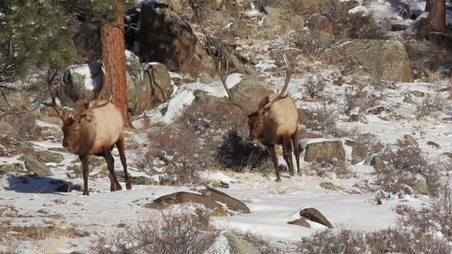 stockvideo's en b-roll-footage met ms pan shot of two large bull elk walking on snow covered hillside / estes park, colorado, united states - estes park