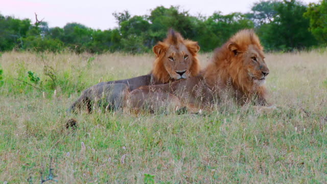 ws shot of two lion resting / kruger national park, mpumalanga, south africa - provinz mpumalanga stock-videos und b-roll-filmmaterial