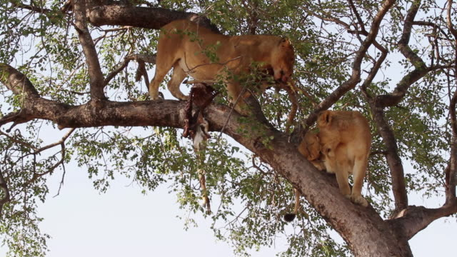 ws la shot of two lions on tree branch / kruger national park, mpumalanga, south africa - provinz mpumalanga stock-videos und b-roll-filmmaterial