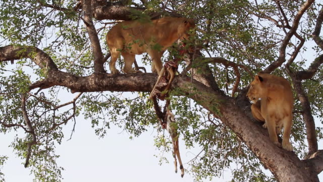 ws la shot of two lions on tree branch, one feeding / kruger national park, mpumalanga, south africa - provinz mpumalanga stock-videos und b-roll-filmmaterial