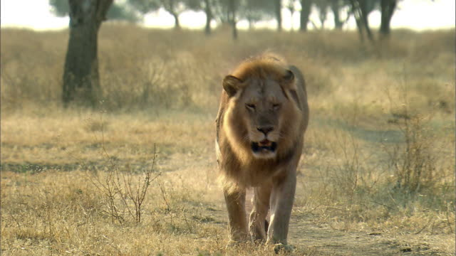 shot of two lions walking in a line - front view stock videos & royalty-free footage