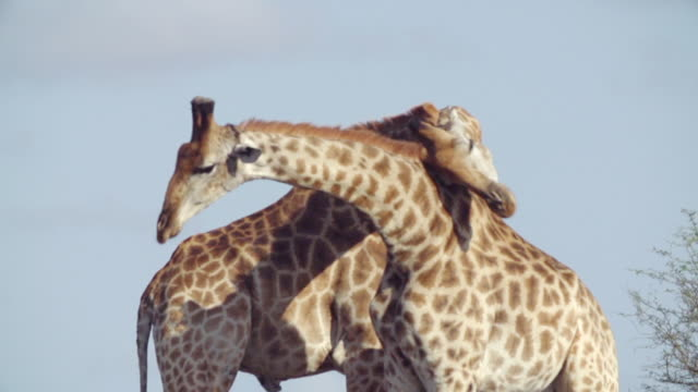 cu slo mo shot of two male giraffes fighting with each other  / kruger national park, mpumalanga, south africa - wildlife reserve stock videos & royalty-free footage