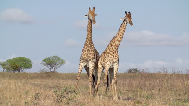 MS TS SLO MO Shot of Two male Giraffes fighting with scenery in back side  / Kruger National Park, Mpumalanga, South Africa