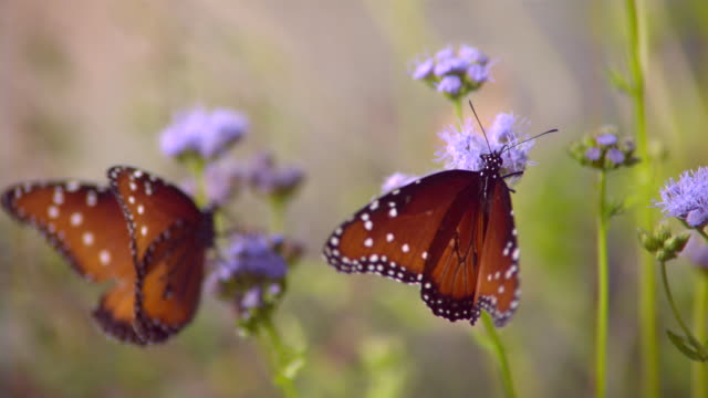 CU SLO MO Shot of Two monarch butterflies on purple flowers / Santa Barbara, California, United States
