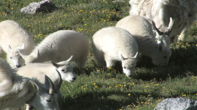 CU ZO TS Shot of two mountain goat with kids grazing on tundra / Idaho Springs, Colorado, United States