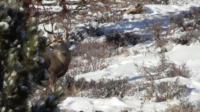 stockvideo's en b-roll-footage met ms shot of two mule deer bucks peeking around bush / estes park, colorado, united states - estes park