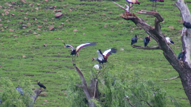 ms shot of two open winged southern crowned cranes perched on top branch of dead tree on dam / utrecht, kwazulu natal, south africa - animal wing stock videos & royalty-free footage