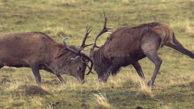 ms slo mo ts shot of two red deer stags cervus elaphus fighting / isle of rum, hebrides, scotland - hebrides stock videos & royalty-free footage