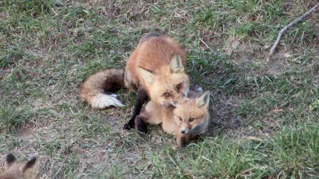 ms shot of two red fox kits playing / boulder, colorado, united states - boulder stock videos & royalty-free footage