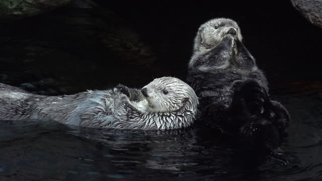 MS SLO MO Shot of two Sea otter, enhydra lutris, adult standing relaxing in water / North America, California, United States