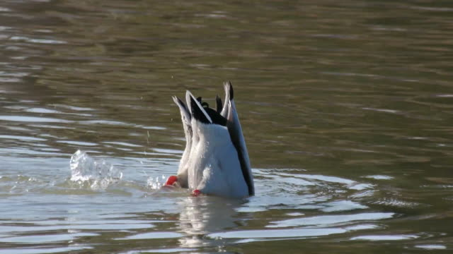 Shot of two spot-billed ducks doing duck dive for searching prey