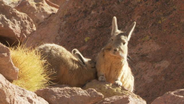 MS Shot of Two Viscacha, Lagidium viscacia young one suckling from mother in high Andes mountains / San Pedro de Atacama, Norte Grande, Chile